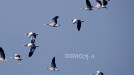 大自然 鲜花 f603 白鹭大雁候鸟迁徙飞行小鸟类飞翔翱翔天际实拍视频 歌舞晚会视频 动态视频素材