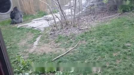 大猩猩被小孩惹怒,一拳击碎了钢化玻璃,镜头记录下惊险画面_高清