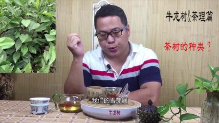 普洱茶      茶叶的种类     牛龙树茶理篇3