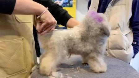 宠物美容师培训,贵宾犬泰迪装萌系造型修剪,山东乐秀宠物美容师培训学校