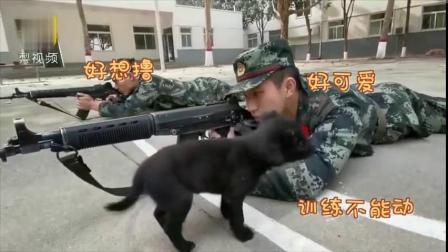 【超可爱预警! [爱你]】日前,河南三门峡某,战士们正在进行趴地训练,训练场中有两条小奶狗,它们跑到其中一名战士身旁,对训练中的...