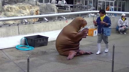 """有趣的海象表演-大分海洋宫水族馆"""" Umitamago"""