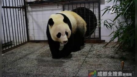 旅美大熊猫贝贝回国啦!行李全是好吃的