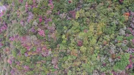 漫山红叶进入最佳观赏期