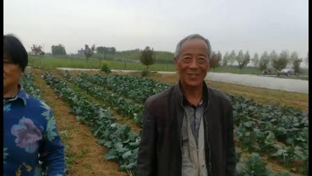 耕田乐西蓝花-山东省肥城市