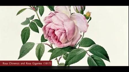 玫瑰花如何就变成了爱情的象征?#情人节