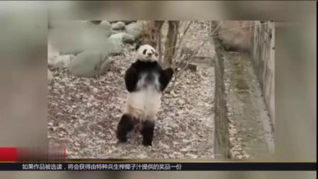 【 滚滚们各显神通[doge]】用鱼竿钓熊猫,你见过吗?每到下午茶时间,饲养员就会用鱼竿钓着苹果和窝窝头等点心,钓大熊猫,来锻炼他们后肢的力...