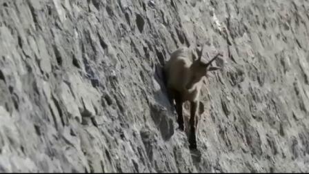 豹子在陡峭的悬崖上捕食山羊追捕惊心动魄最终山羊逃脱虎口