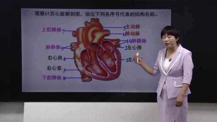 七年级生物下册第四单元第四章第三节输送血液的泵--心脏一