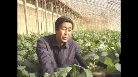 温室种宝--西葫芦栽培(张仲保)1