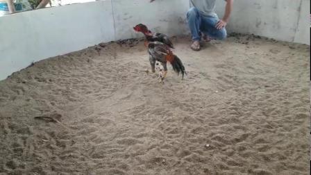 红鸡7.2斤,重腿打头脑,脖子,肩甲。弟三视频楼