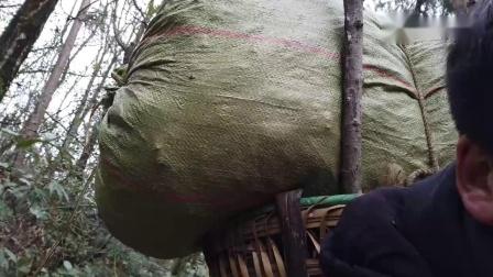 舅妈徒步远山深处搂木叶,为二代野猪过冬垫窝,喂猪真不容易