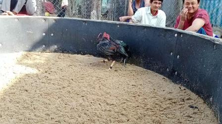 1192短量打坏高大占重鸡6.2斤