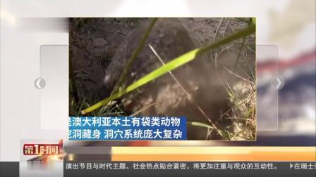 巢穴供避火 袋熊成为澳大利亚动物界英雄