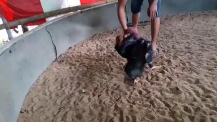 视频一,黑鸡6.6斤,两面管,重腿打头脑,肩胛,背窝脖子。