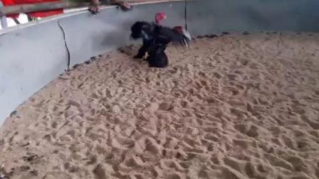 视频二,黑鸡6.6斤,两面管,重腿打头脑,肩胛,背窝脖子。