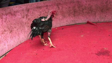 胜利红鸡3