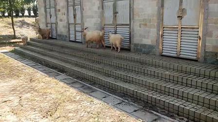 路过见到羊咩咩摄影留回忆。