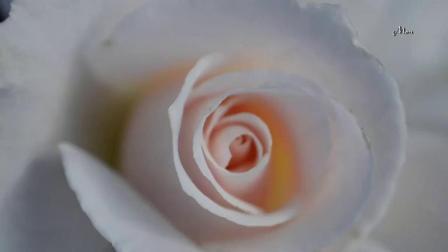 hc - Roses