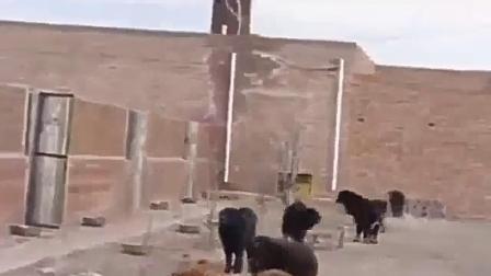 鬼獒和藏獒打架视频   藏獒vs比特   斗狗打架