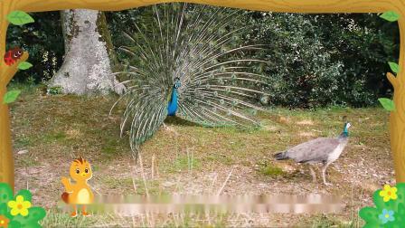 萌鸡小队趣自然孔雀为什么会开屏?