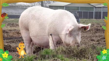 萌鸡小队趣自然为什么猪喜欢在泥坑里游泳?