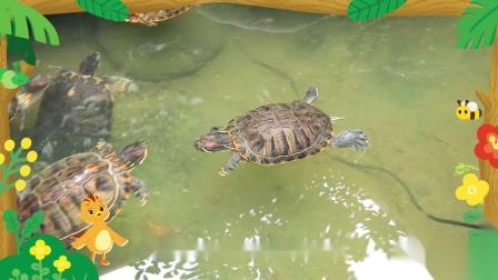 萌鸡小队趣自然乌龟为什么没有耳朵?