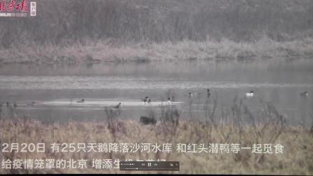 北京日报客户端沙河天鹅