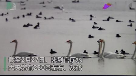 北京青年报 官厅天鹅