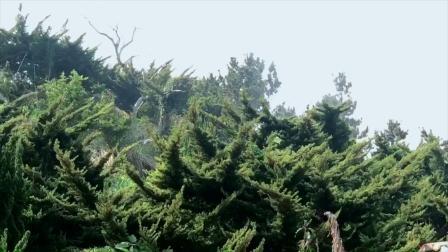 亚拓E1 农用无人植保机 - 植栽场 黑松 真柏树病毒害防治作业