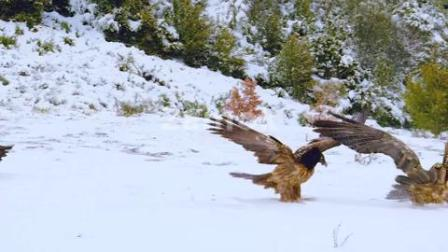 老鹰雄鹰翱翔实拍素材-视频素材-凌晨两点视频素材网