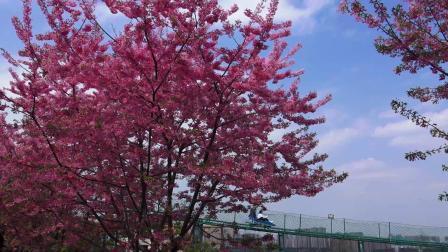 阳春三月 春花烂漫--成都漫花庄园恢复开园