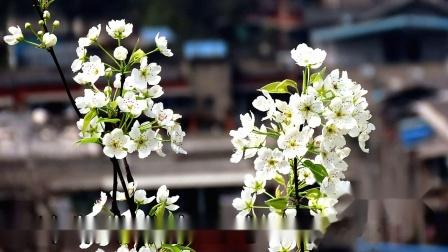 四川广元梨花万树栽 年年春暖花正开