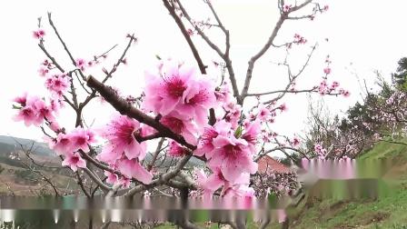 2020春四川广元水柜村李家山 又是一年桃花开