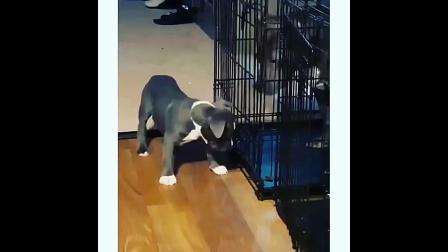 小狗英勇地救出困在笼子里的妈妈