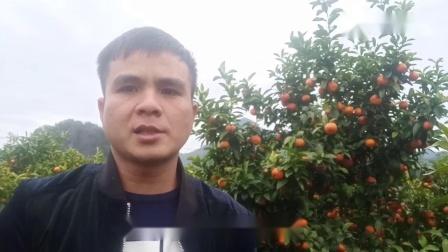 广西小伙承包70亩砂糖橘,年前不愿卖如今免费送,看到底什么情况