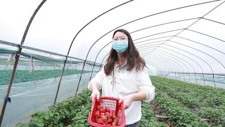 这季节摘草莓是非常的合适,而且也是一种乐趣。
