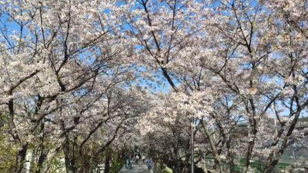 疫情 周末 樱花