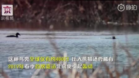BTV新闻京视频 青头潜鸭