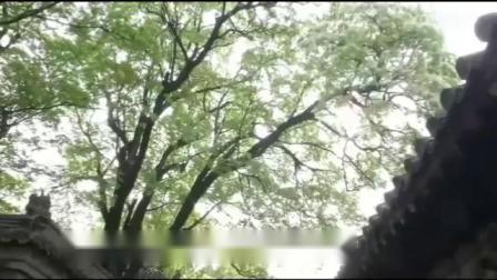 千年孟府流苏树 四月花开盛似雪.mp4