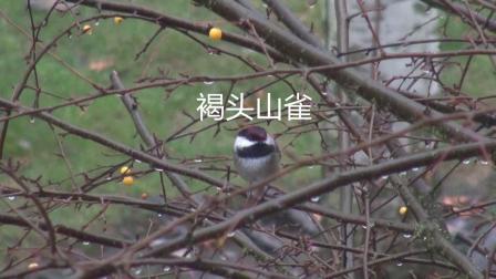 褐头山雀(山雀科)