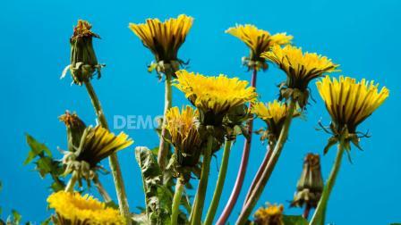 a783 2K画质超唯美小清新金色菊花鲜花盛开特写延时摄影动态视频素材