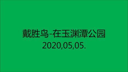戴胜鸟,在玉渊潭公园,2020,05,05.
