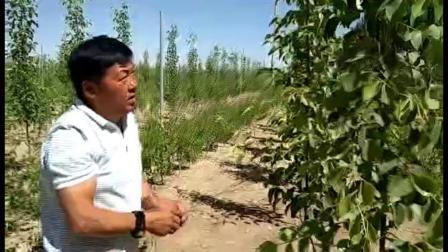新疆香梨树拉枝 可调式果树开角拉枝神器 如何拉枝方法苹果树管理技术视频