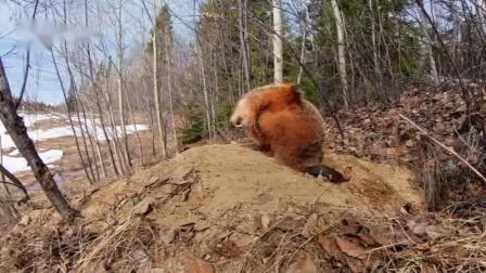 重返生机!隐藏摄像机记录加拿大森林小动物的可爱日常