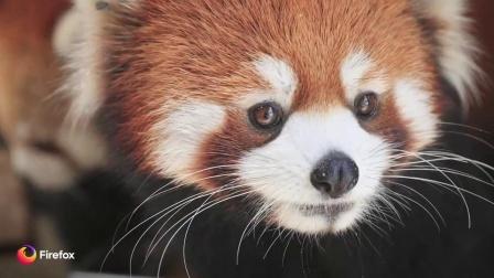 Red Panda Cubs — Firefox - Woodland Park Zoo