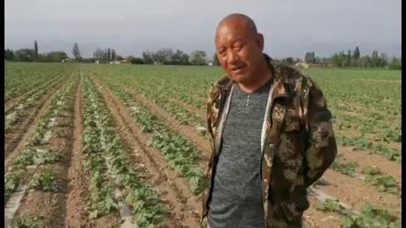 新疆使用耕田乐的葫芦苗期效果