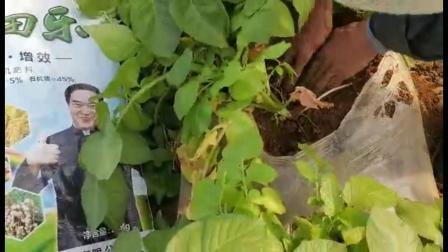 耕田乐抗病——土豆