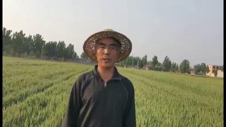 耕田乐小麦