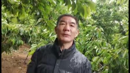 耕田乐樱桃增产了